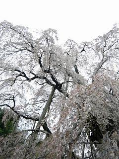 20130420三春滝桜(その28)