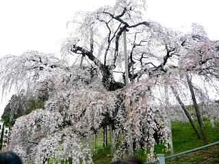 20130420三春滝桜(その29)