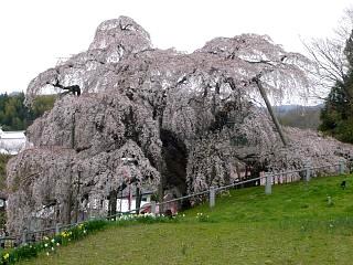20130420三春滝桜(その31)