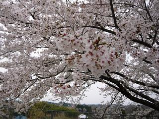 20130420三春滝桜(その37)