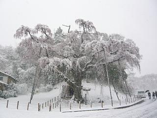 20130421紅枝垂地蔵堂桜(その5)
