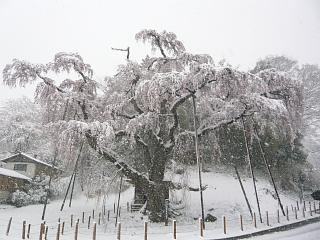 20130421紅枝垂地蔵堂桜(その6)