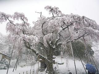 20130421紅枝垂地蔵堂桜(その7)