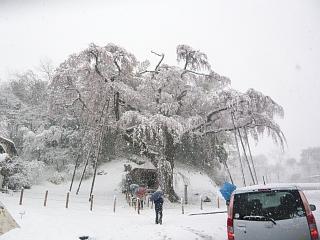 20130421紅枝垂地蔵堂桜(その8)
