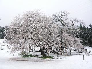 20130421石部桜(その16)