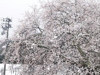 20130421石部桜(その18)