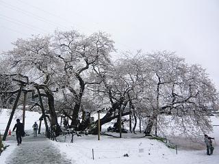 20130421石部桜(その21)