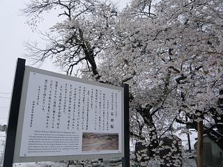 20130421石部桜(その23)