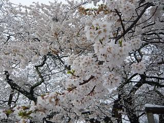 20130421石部桜(その24)