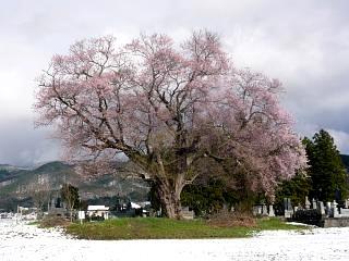20130421一本桜(その3)