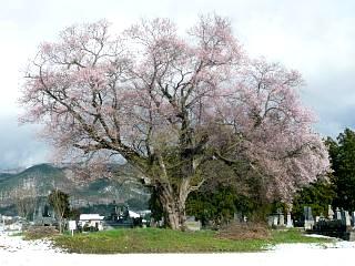 20130421一本桜(その4)