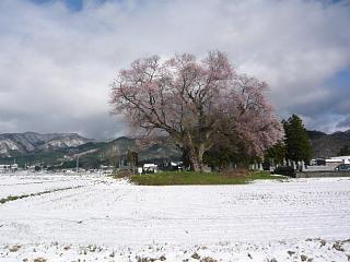 20130421一本桜(その5)