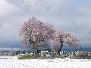 20130421一本桜(その6)