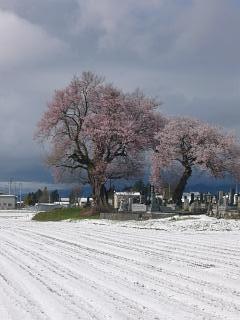 20130421一本桜(その7)