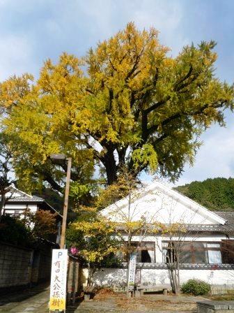 泉山大公孫樹3(2013-11-21).