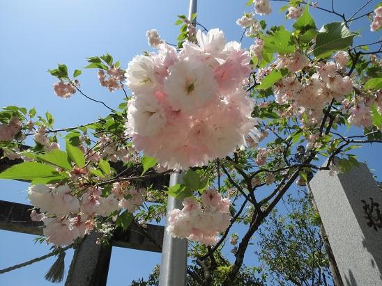 牡丹桜 20130517 180 15per