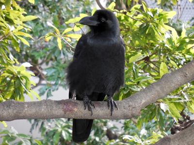 20130203_crow_0481_w800.jpg