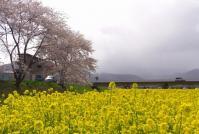 桜花見2013川渡温泉4川渡大橋
