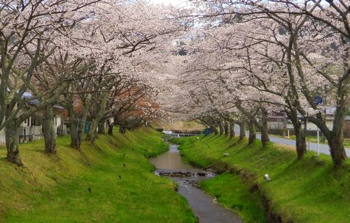 桜花見2013川渡温泉6湯沢川