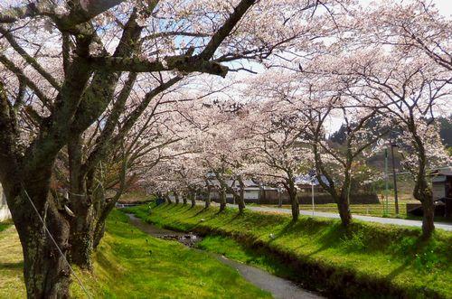 桜花見2013川渡温泉8湯沢川