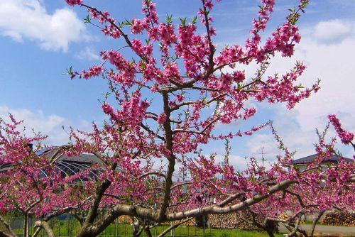 仙台真田氏の名宝7桃の花