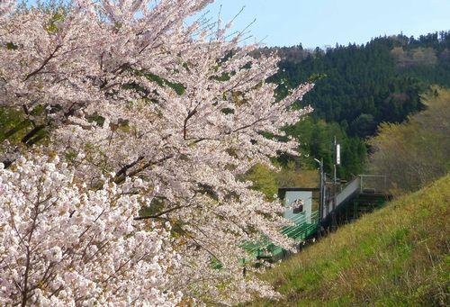 三陸鉄道恋し浜駅10桜