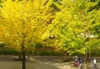 紅葉2013あづま総合運動公園イチョウ並木7