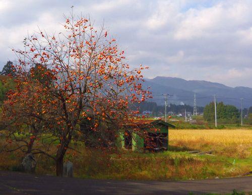 紅葉2013福島柿の木