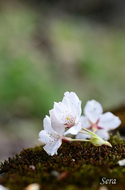 地上の桜:強すぎる風でこんなきれいなまま落ちてしまったのね