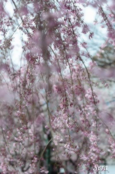 桜色:とにかく風が強かった・・・ブレブレもご愛嬌(^^;