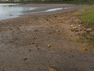 マングローブ前面の干潟