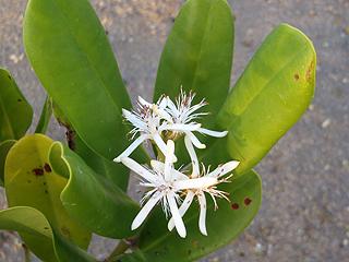 メヒルギの花