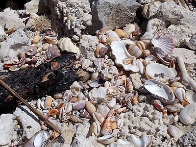 たくさんの貝殻が!