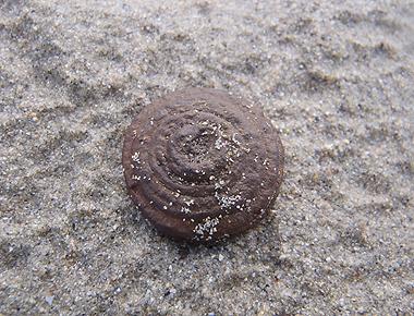 ドングリの帽子の化石なのか?