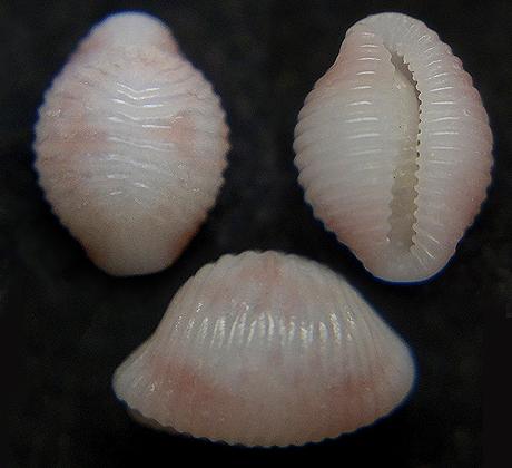 シラタマ-zzyzyxia