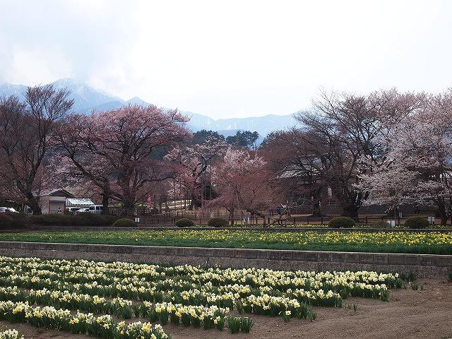 028神代桜