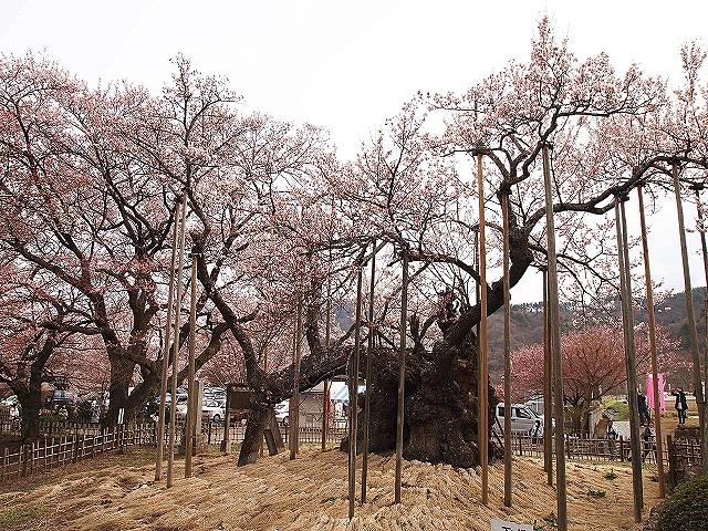 039神代桜