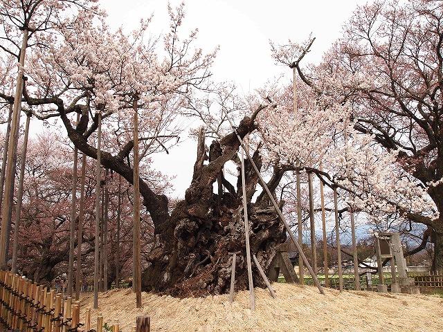 041神代桜