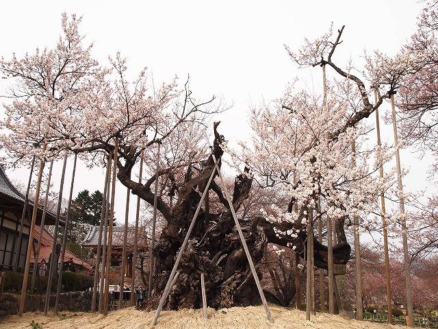 044神代桜