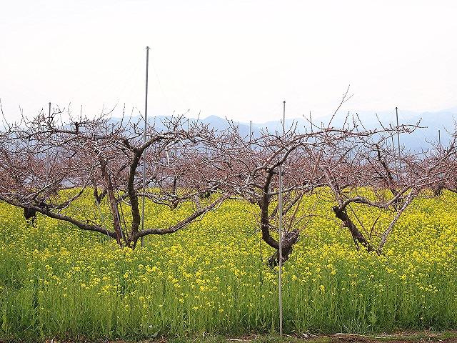 053桃の花
