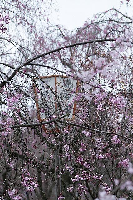 IMG_5307原谷苑