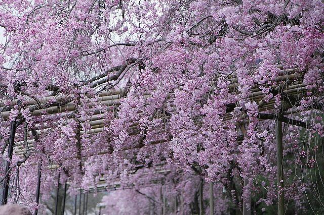 IMG_5455半木の道