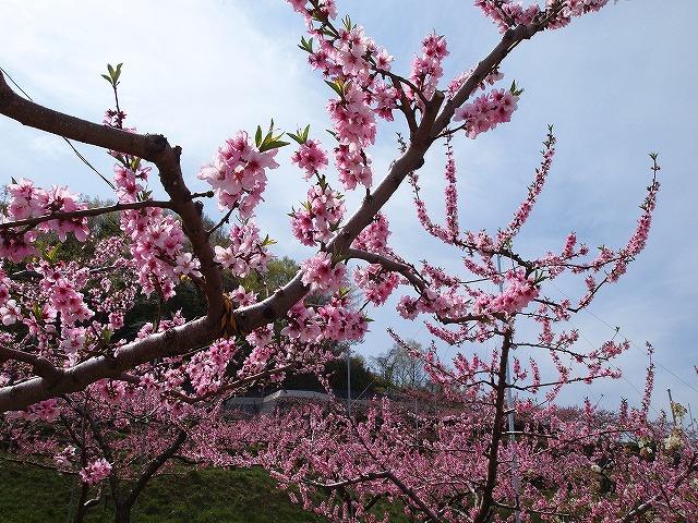 038桃の花