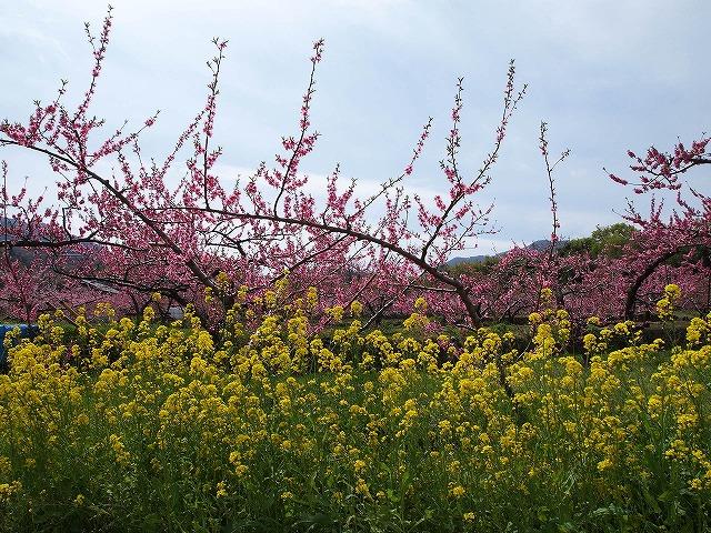 040桃の花