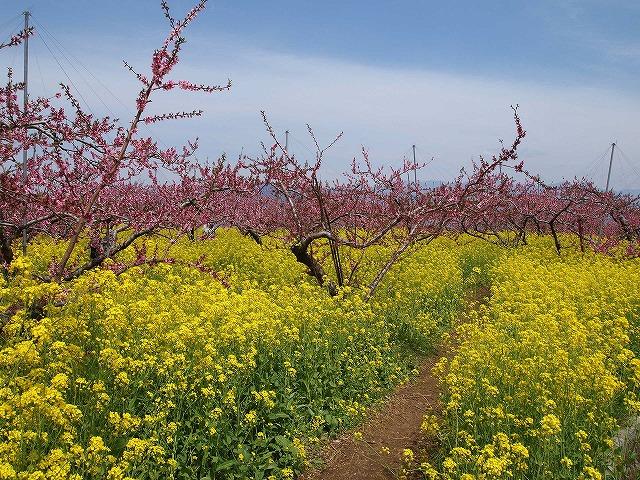 046桃の花