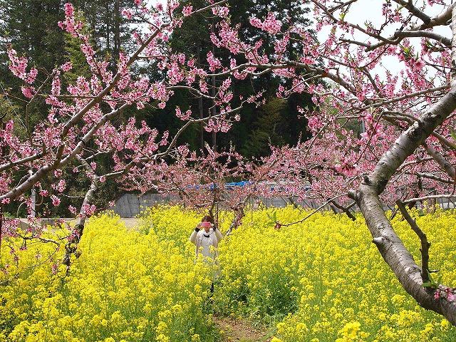 050桃の花