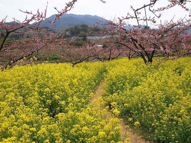 071桃の花