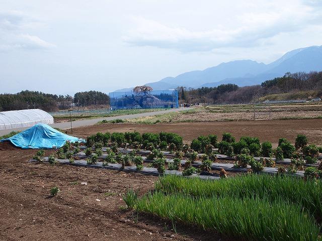 087神田のイトザクラ
