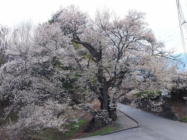 095関の桜