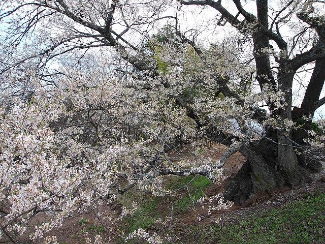 099関の桜